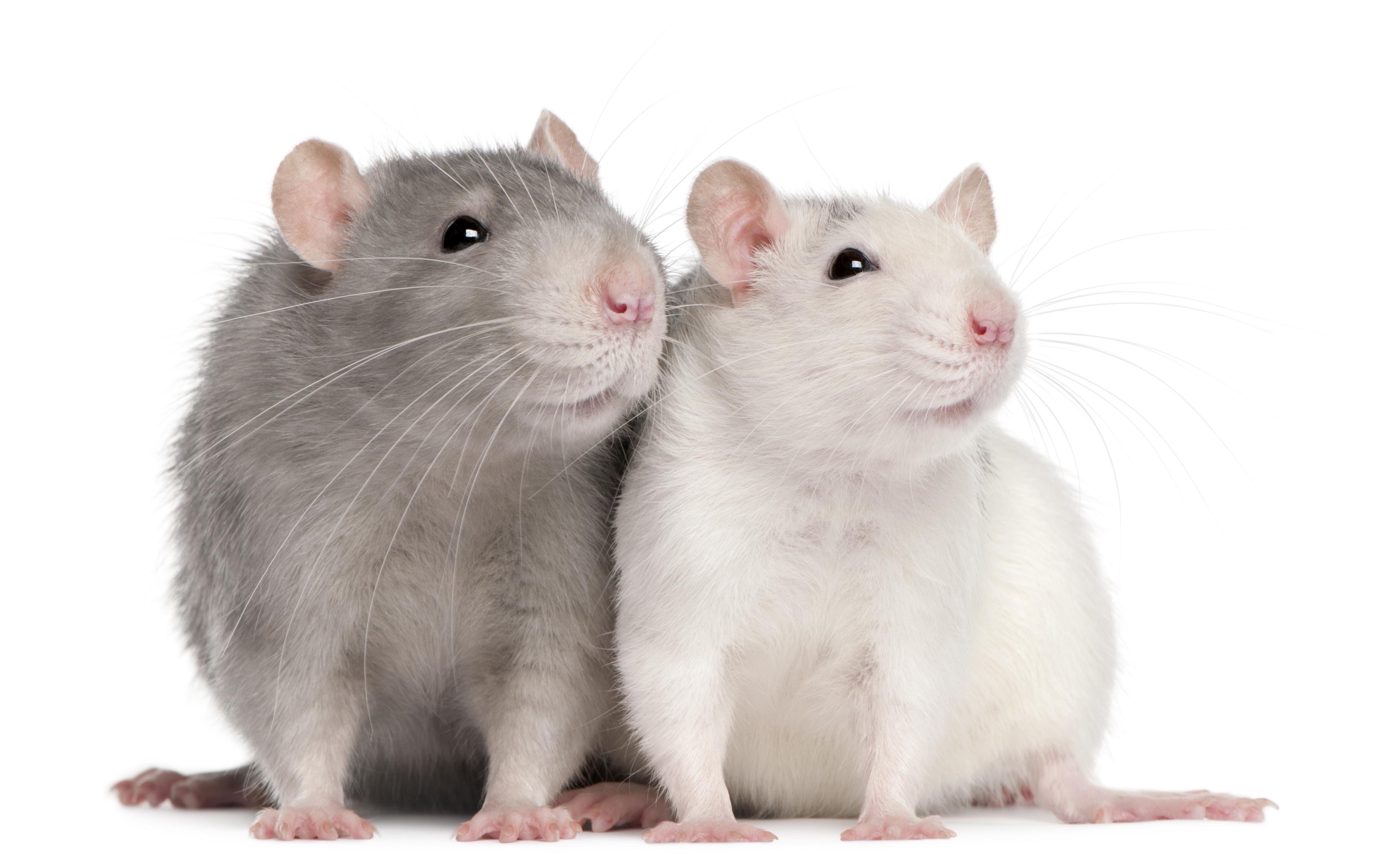 Rats. NYC sterilizing them. - Alltop Viral