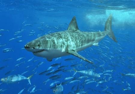 White_shark  Credit- terry goss