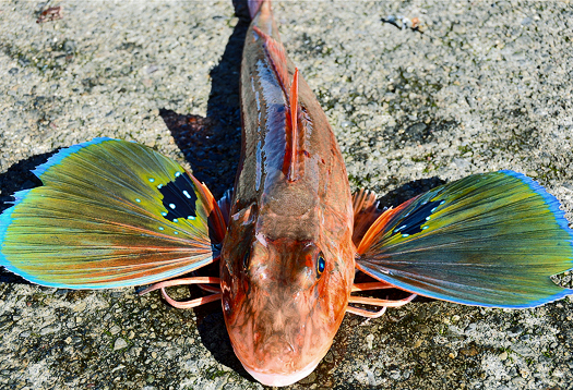 Evolution s opportunists ray finned fish alltop viral for Types of ray fish