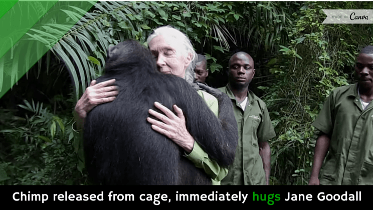 Animals Using Tools as well Jane Goodall How She Redefined Mankind in addition Chimp Released From Cage Immediately Hugs Jane Goodall Video as well Polar Bears Of Churchill Canada in addition 7 Fierce Halloween Costumes For The Empowered Woman. on jane goodall with chimpanzees