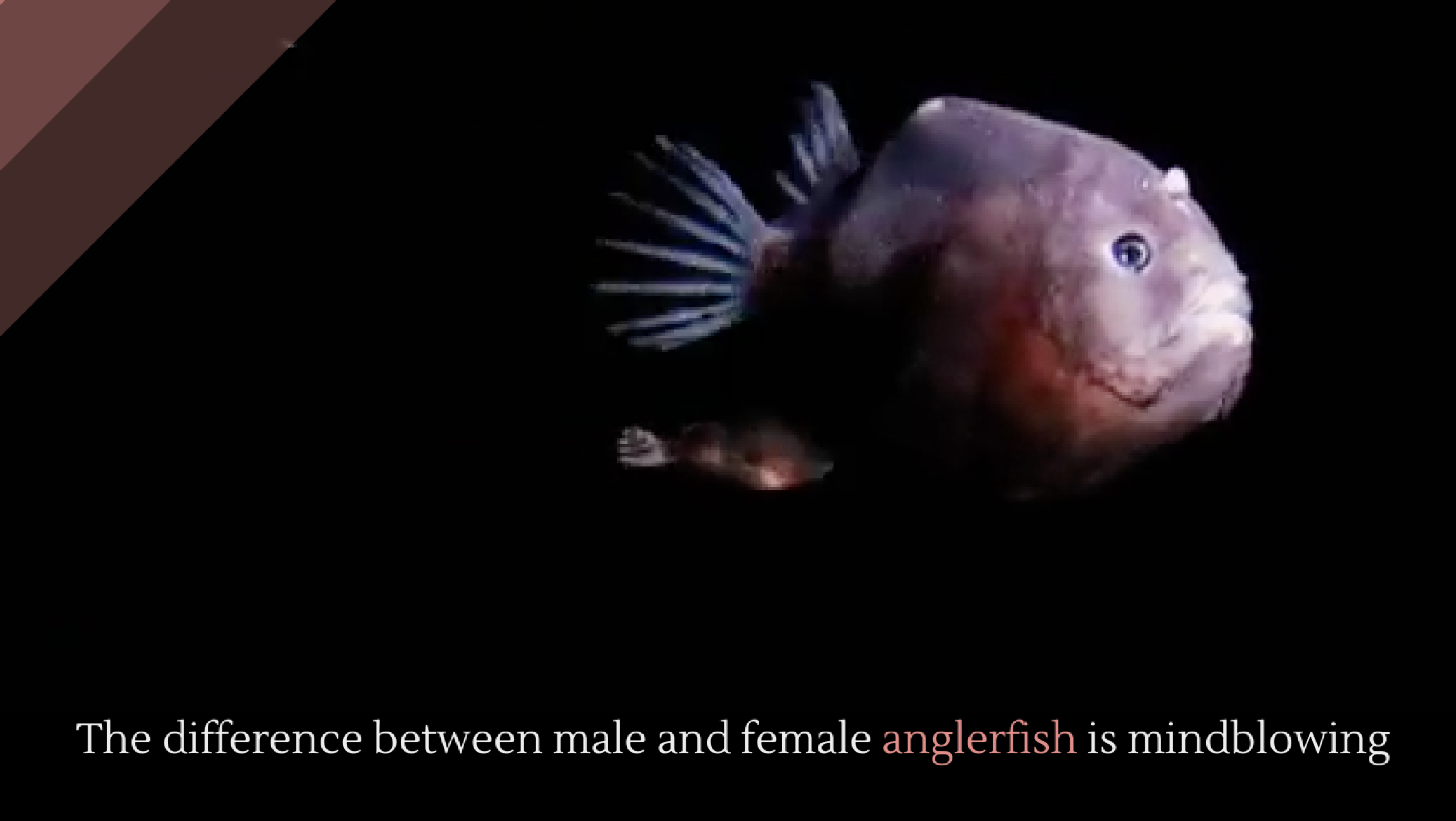 The difference between male and female anglerfish is mindblowing ... for Male Angler Fish Vs Female Angler Fish  53kxo